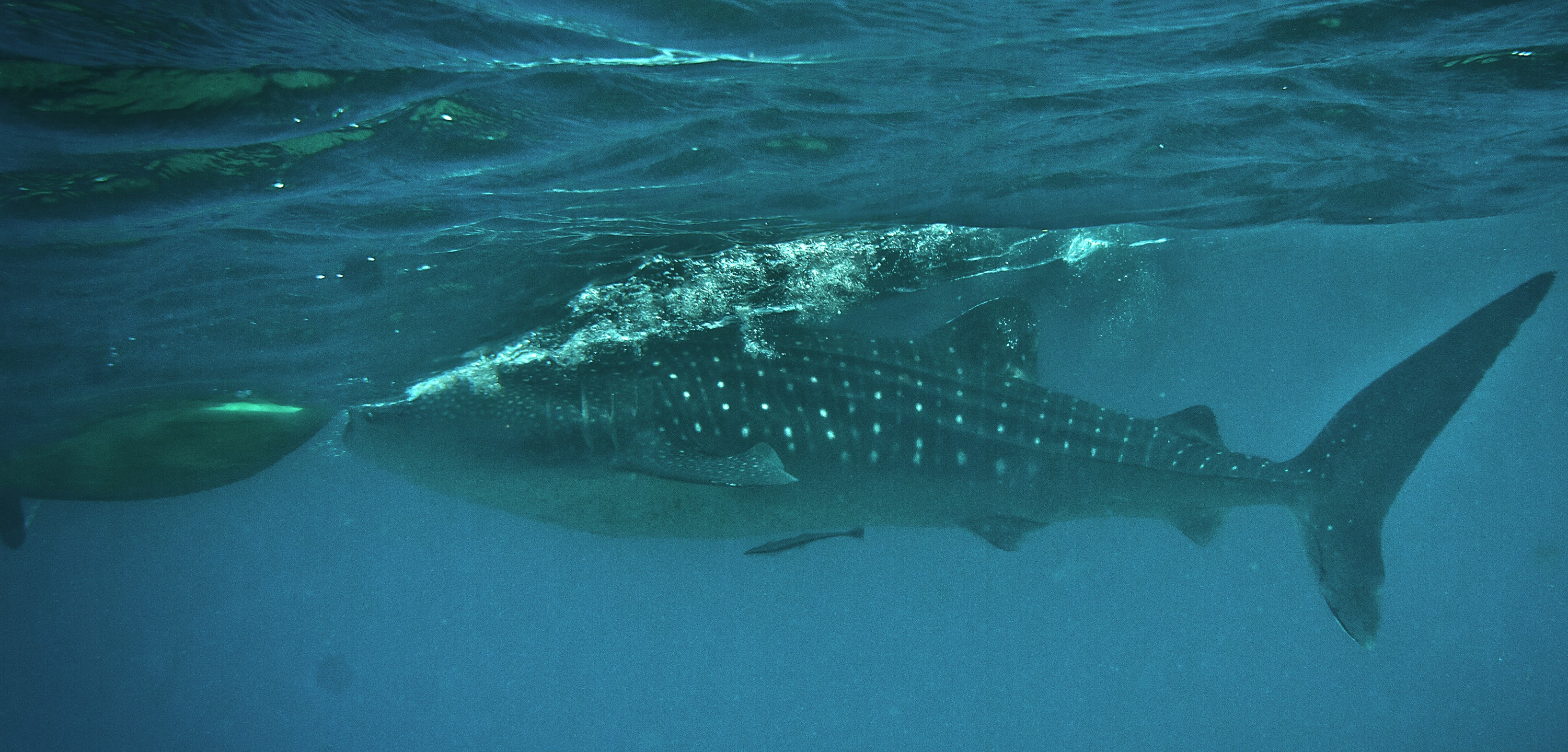 Whale Shark Watching at Oslob Cebu